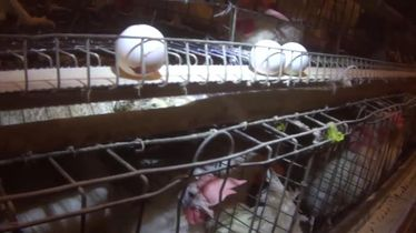 Undercover investigation at New England's largest egg producer