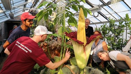 Corpse Flower Blooms at UMass Amherst
