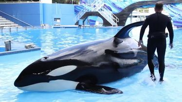 Breaking: SeaWorld to end breeding of Orcas