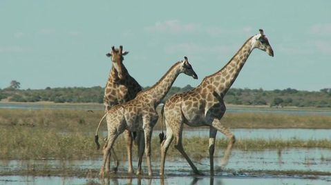 Giraffes Killed, Sold, and Approaching Extinction