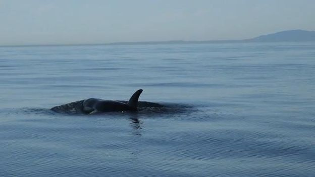 B-Roll: Southern Resident Killer Whale J50 - Tracking by Researchers